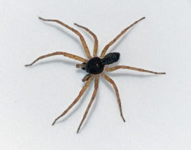 Picture of Philodromus dispar - Male - Dorsal