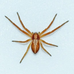Featured spider picture of Philodromus rufus