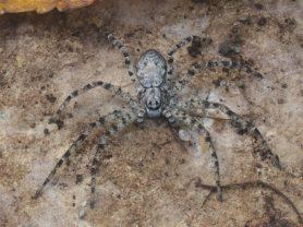 Picture of Philodromus spp. - Dorsal,Eyes