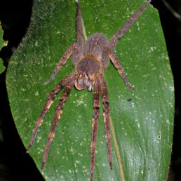 Featured spider picture of Phoneutria fera