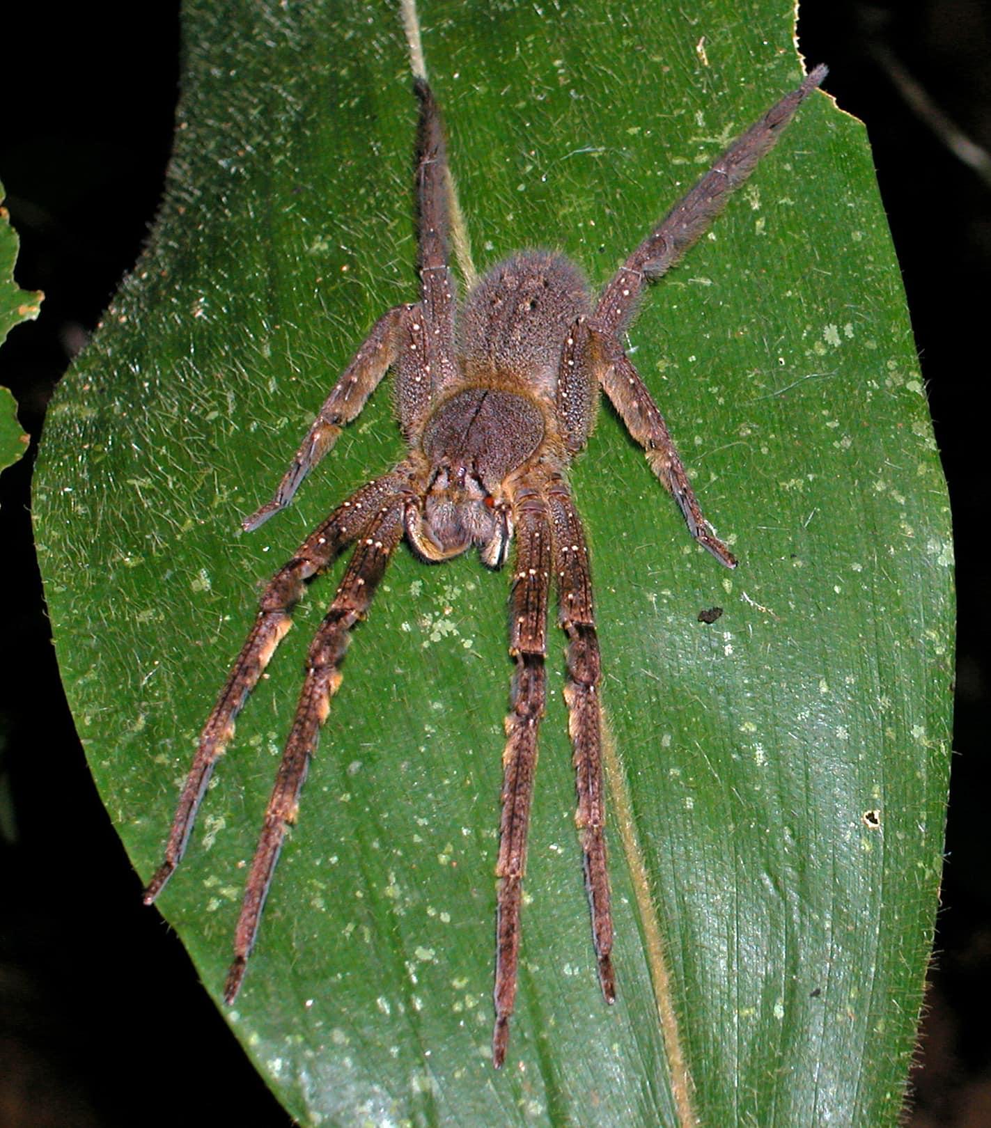 Picture of Phoneutria fera - Female - Dorsal