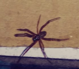 Picture of Parasteatoda tepidariorum (Common House Spider) - Male - Dorsal