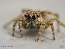 Picture of Sitticus fasciger - Male - Eyes