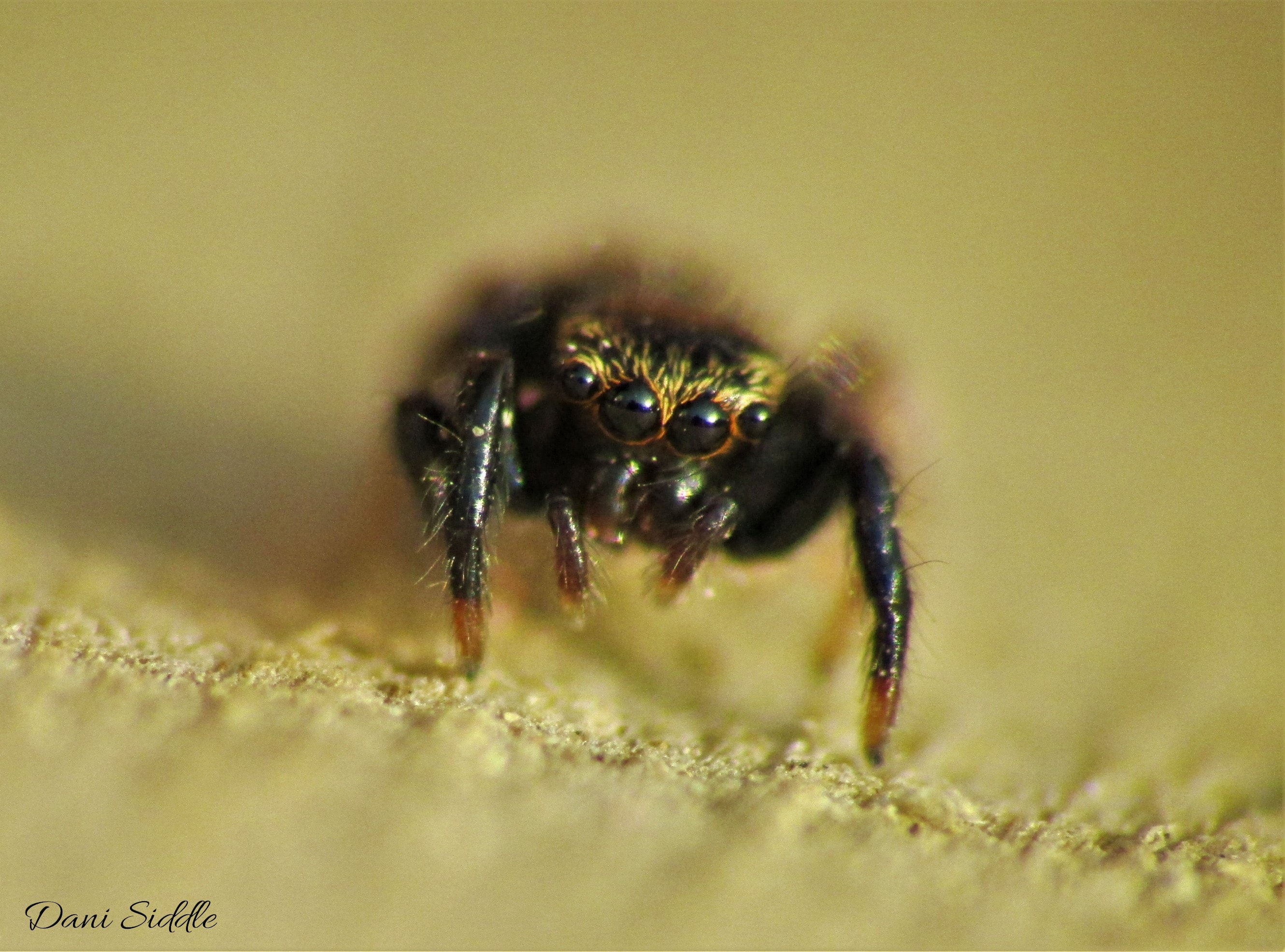 Picture of Paraphidippus aurantius (Emerald Jumping Spider) - Male - Eyes