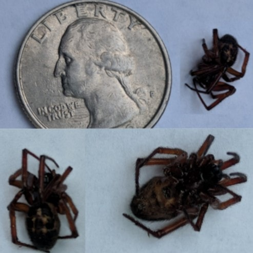 Picture of Steatoda nobilis (Noble False Widow) - Dorsal,Lateral,Ventral
