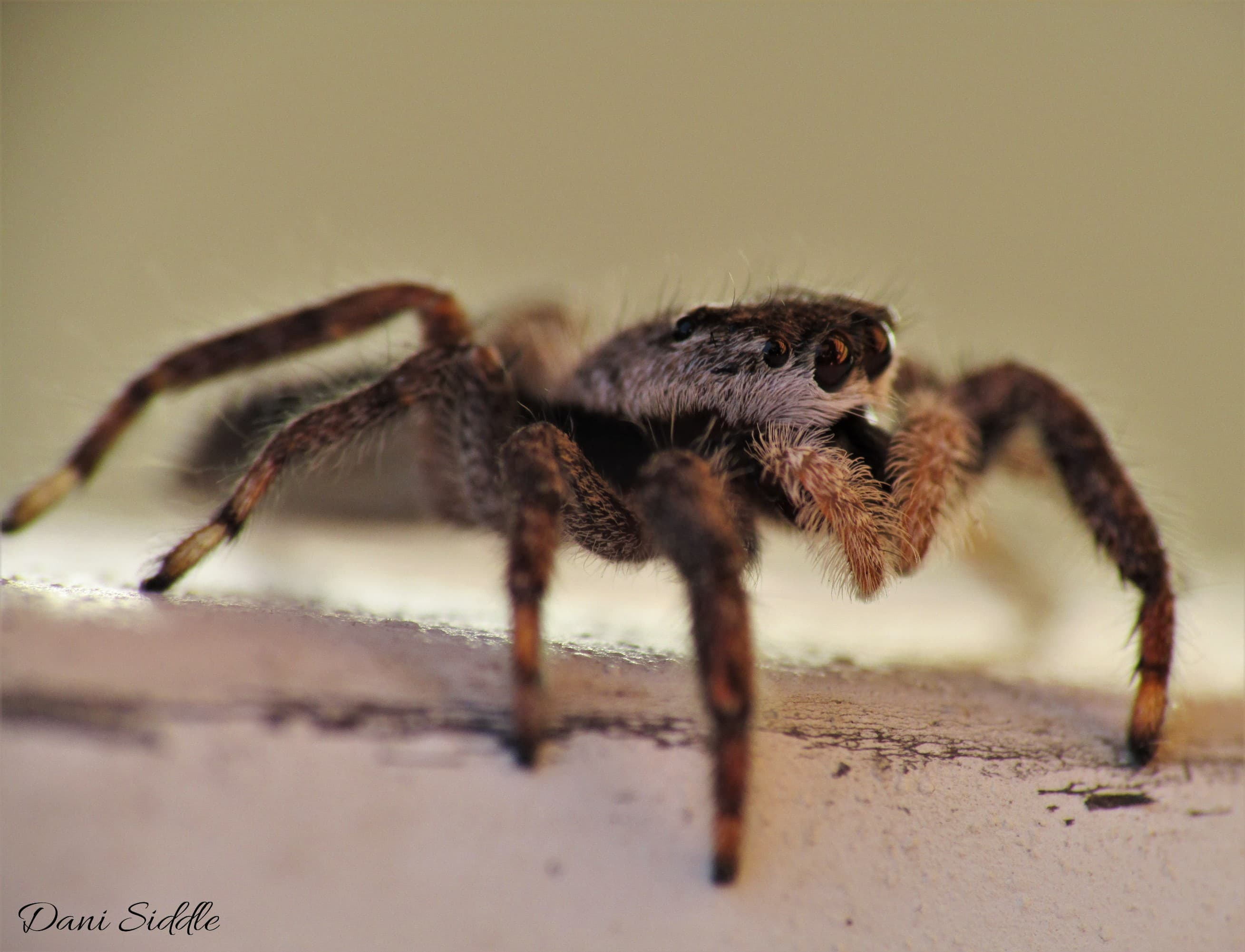 Picture of Platycryptus undatus (Tan Jumping Spider) - Female - Lateral