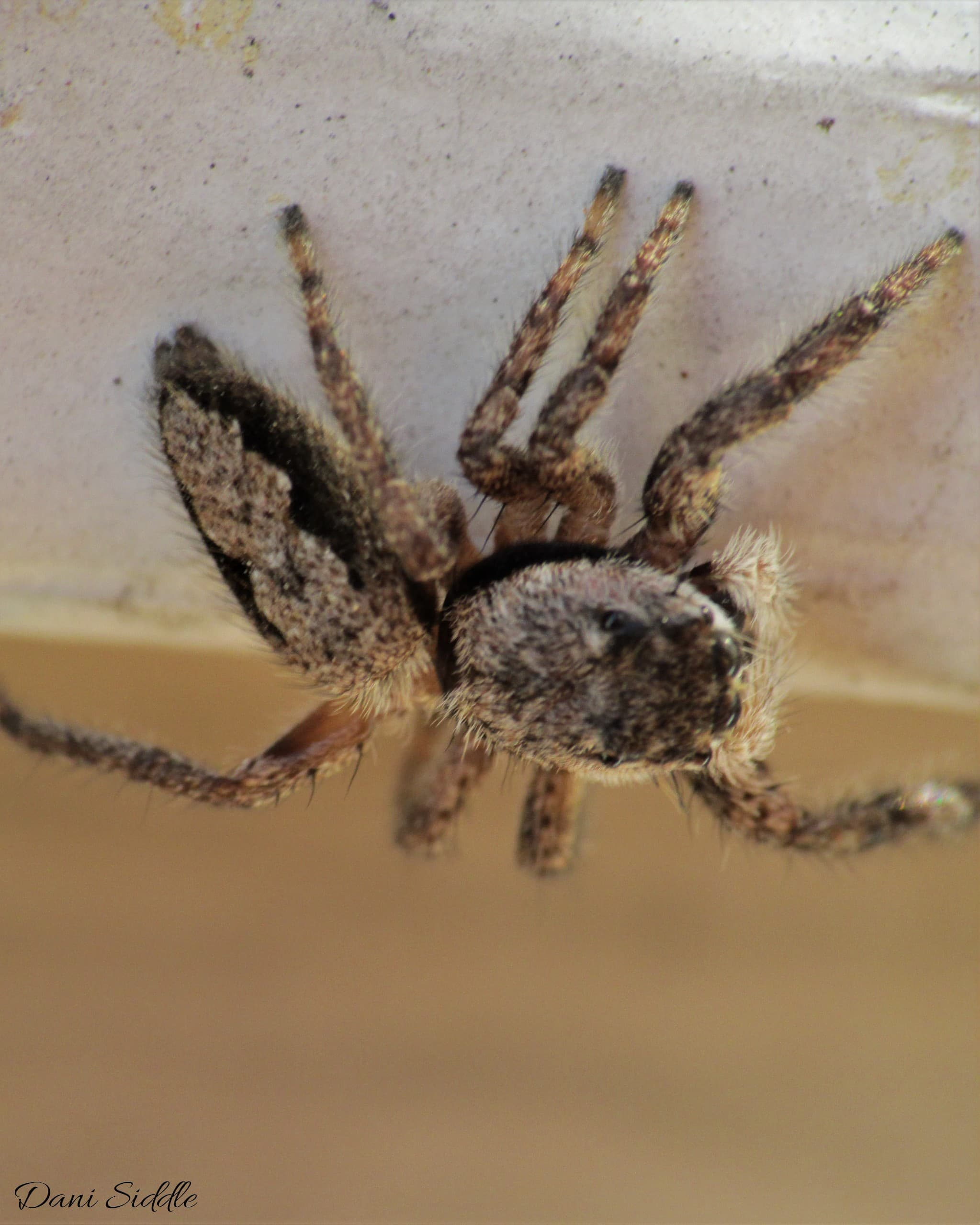 Picture of Platycryptus undatus (Tan Jumping Spider) - Female - Dorsal