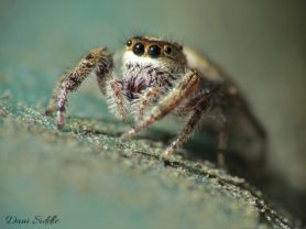 Picture of Eris spp. - Eyes