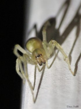 Picture of Cheiracanthium mildei (Long-legged Sac Spider) - Eyes