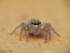 Picture of Maevia inclemens (Dimorphic Jumper) - Eyes