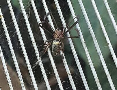 Picture of Nephila (Golden Silk Orb-weavers) - Dorsal