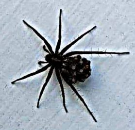 Picture of Pardosa spp. (Thin-legged Wolf Spiders) - Female - Dorsal,Spiderlings