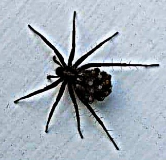 Picture of Pardosa (Thin-legged Wolf Spiders) - Female - Dorsal,Spiderlings