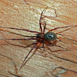 Featured spider picture of Pimoa altioculata