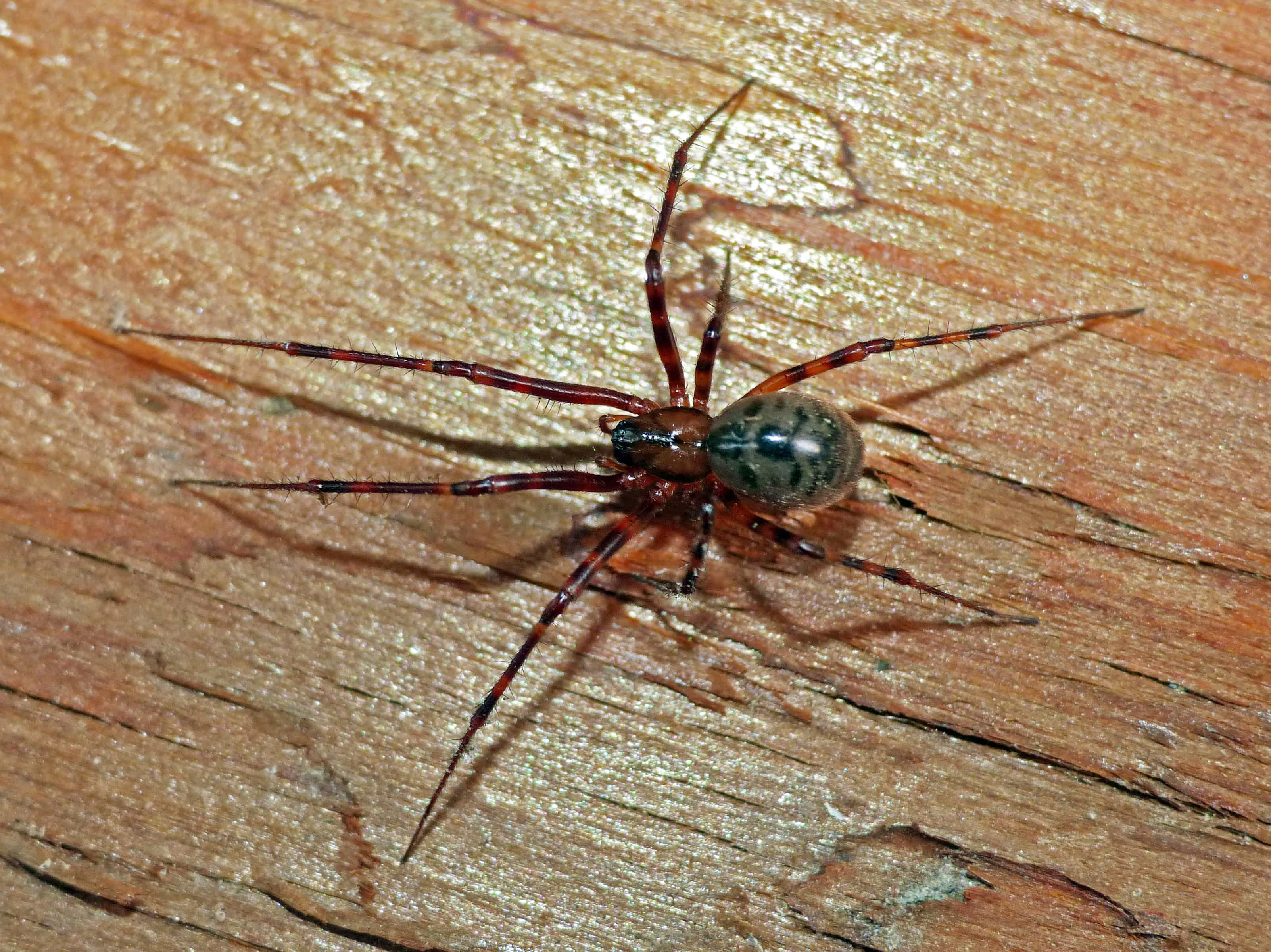 Picture of Pimoa altioculata - Female - Dorsal