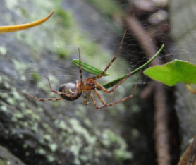 Picture of Pimoa spp. - Female - Lateral,Webs
