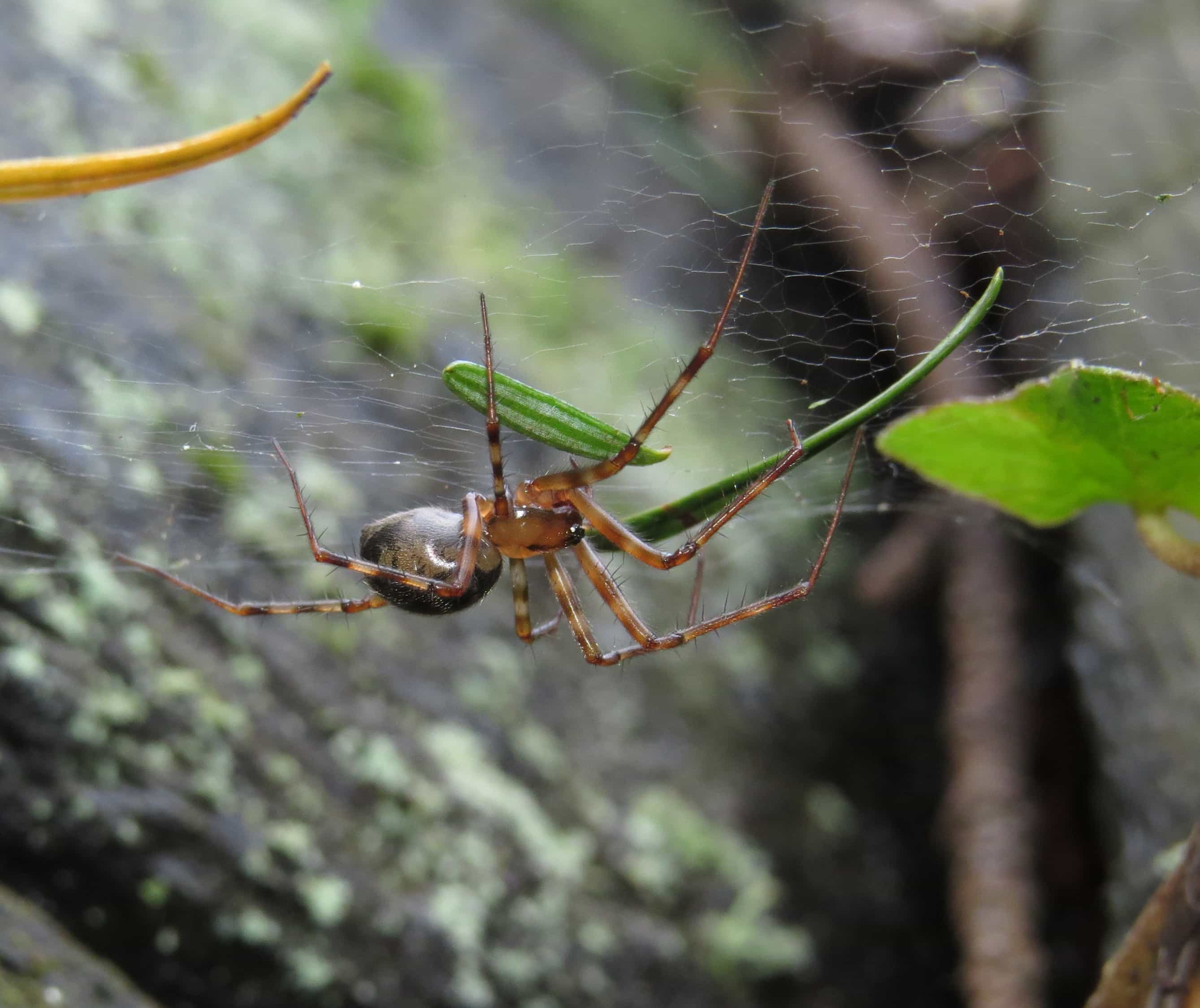 Picture of Pimoa - Female - Lateral,Webs
