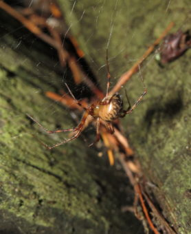 Picture of Pimoa spp. - Lateral,Webs