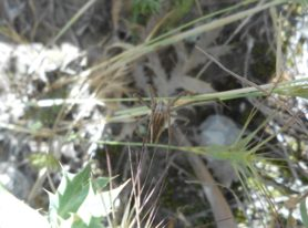 Picture of Pisauridae (Nursery Web Spiders) - Female - Dorsal
