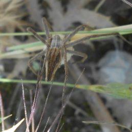Featured spider picture of Pisaura mirabilis (European Nursery Web Spider)