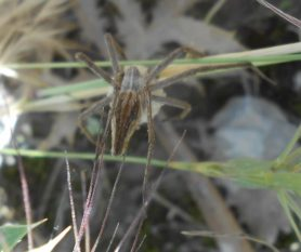 Picture of Pisaura mirabilis (European Nursery Web Spider) - Female - Dorsal