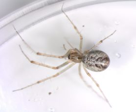 Picture of Linyphia triangularis (European Sheetweb Spider) - Dorsal