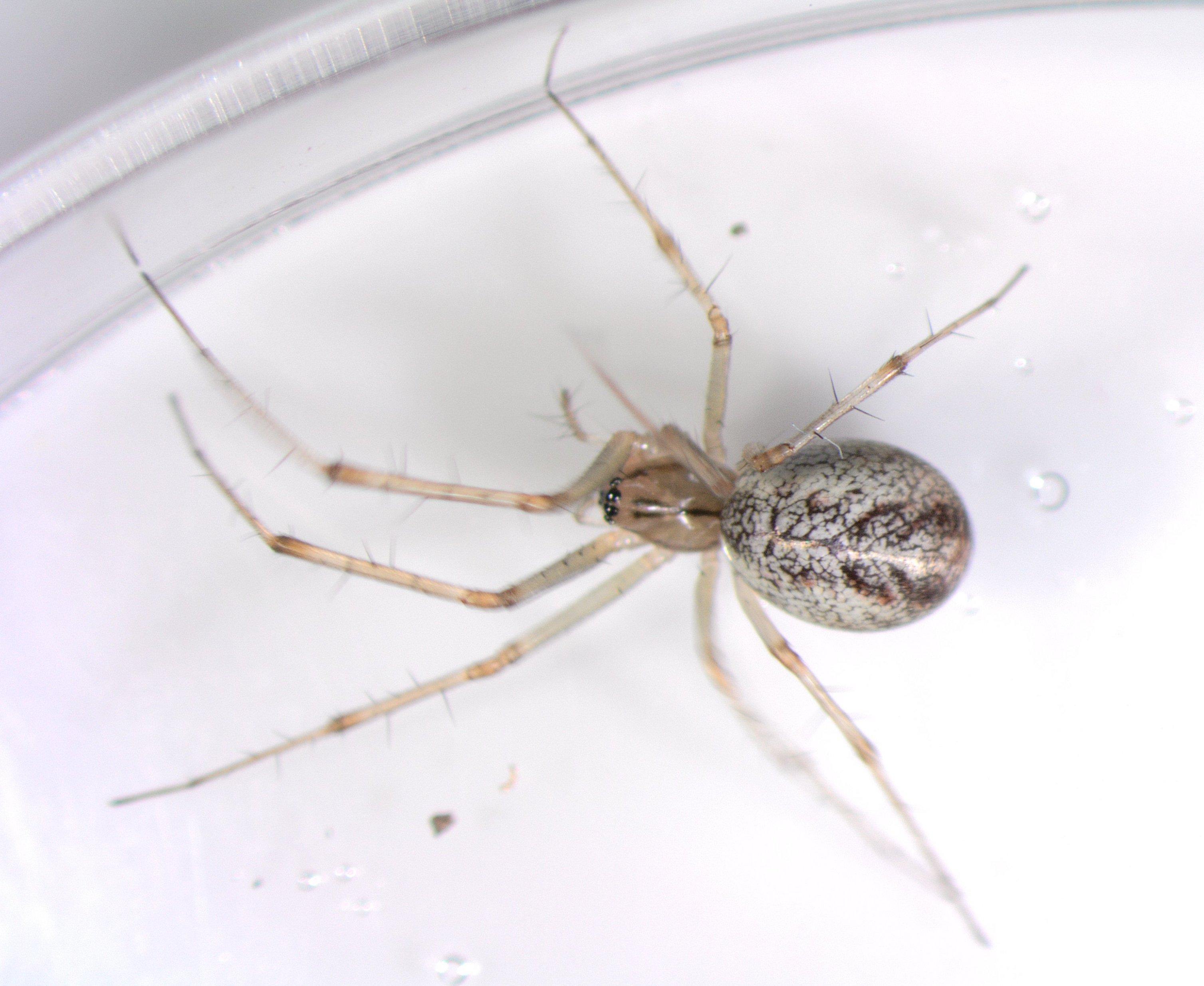 Picture of Linyphia triangularis (European Sheetweb Spider) - Dorsal