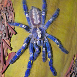 Featured spider picture of Poecilotheria metallica (Peacock Parachute Spider)
