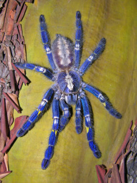 Picture of Poecilotheria metallica (Peacock Parachute Spider) - Female - Dorsal