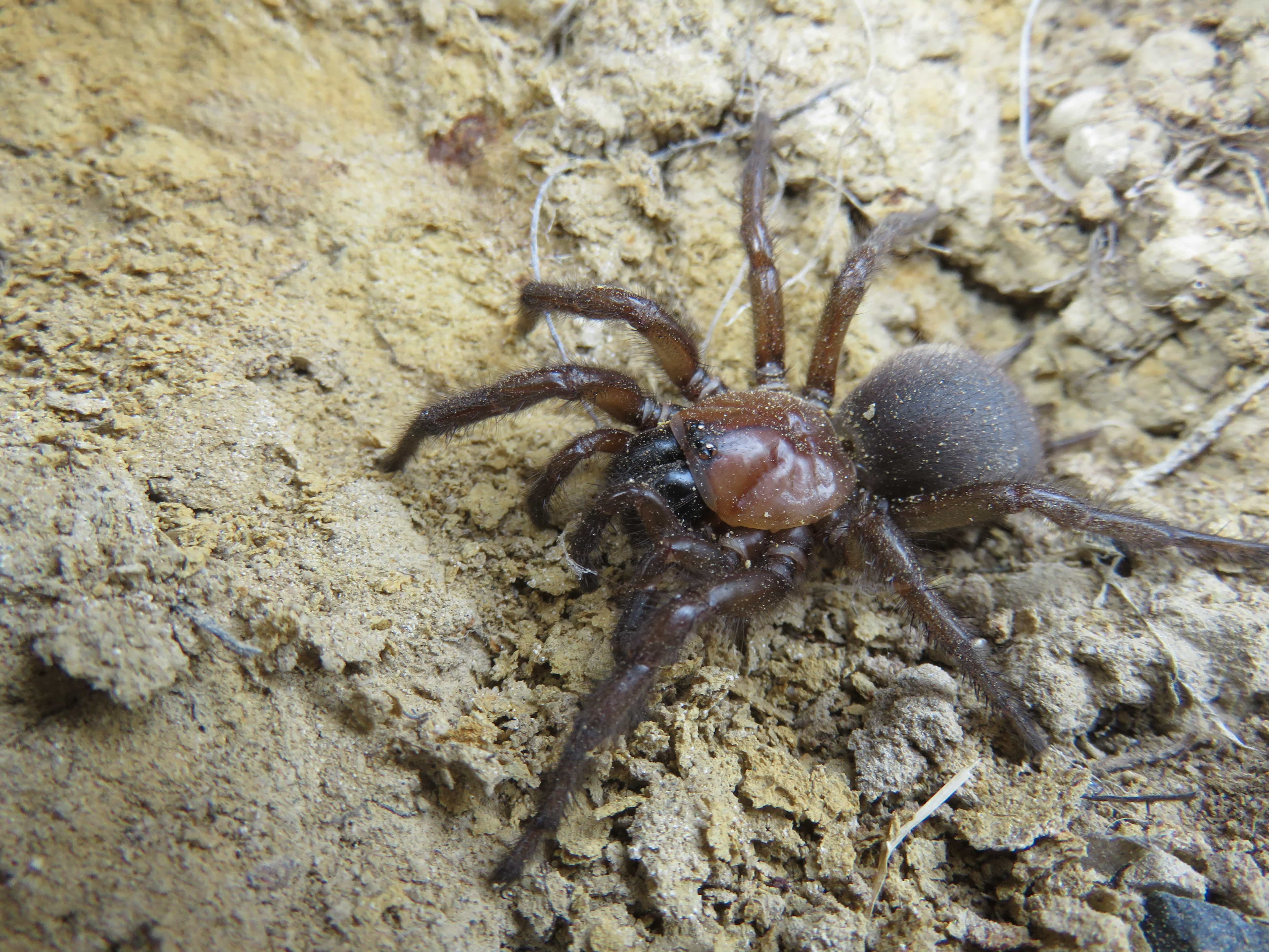 Picture of unidentified spider - Female - Dorsal