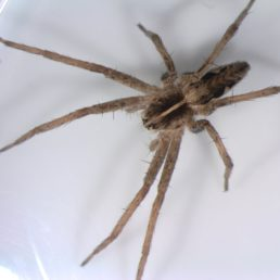 Featured spider picture of Pisaura mirabilis (European Nursery Web Spider)