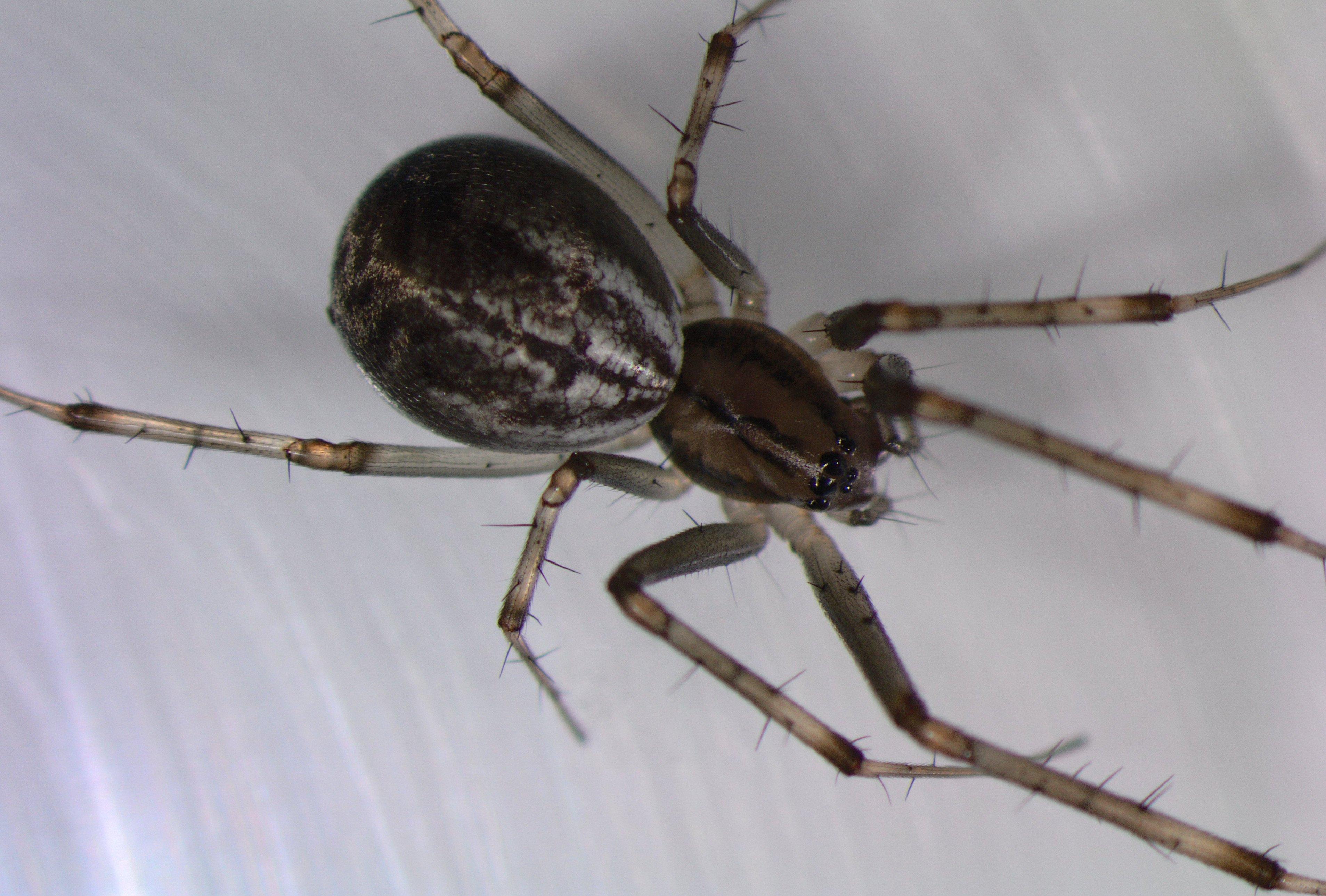 Picture of Linyphia triangularis (European Sheetweb Spider) - Dorsal,Eyes