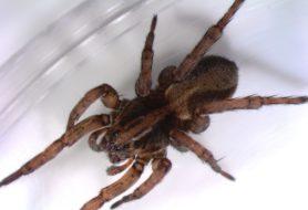 Picture of Trochosa spp. - Dorsal