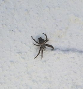 Picture of Cyrtophora citricola (Global Tent-web Weaver) - Dorsal
