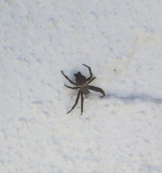 Picture of Cyrtophora citricola (Tropical Tent-web Spider) - Dorsal