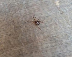 Picture of Steatoda triangulosa (Triangulate Cobweb Spider) - Dorsal