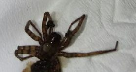Picture of Coras spp. (Funnel Web Spiders) - Male