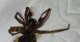 Picture of Coras (Funnel Web Spiders) - Male