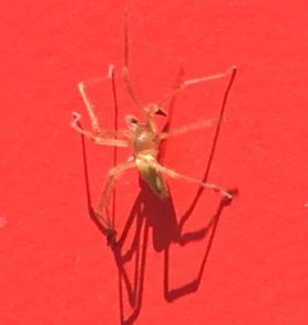 Picture of Cheiracanthium spp. (Long-legged Sac Spiders) - Male - Dorsal,Lateral