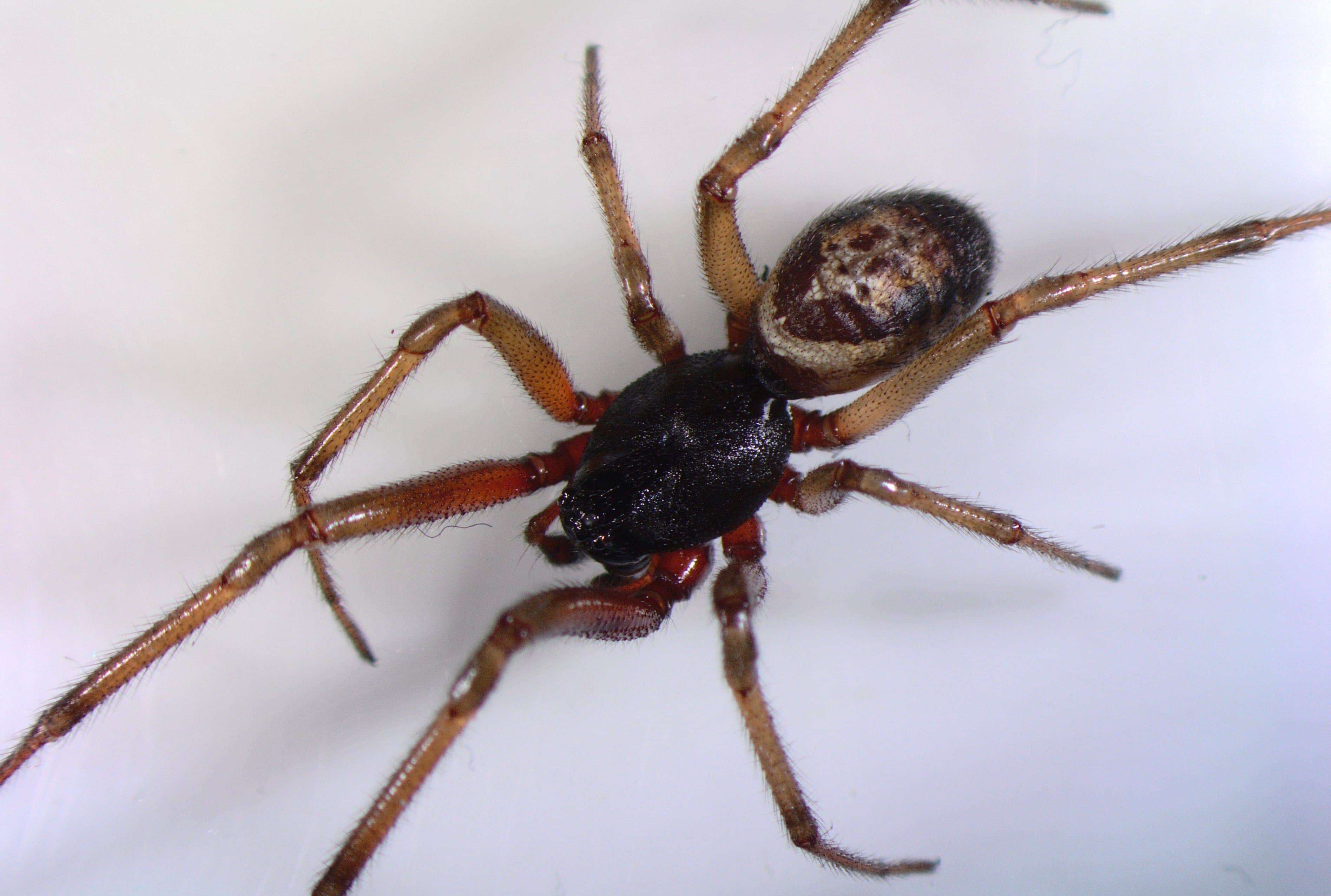 Picture of Steatoda nobilis (Noble False Widow) - Male - Dorsal
