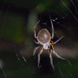 Featured spider picture of Eriophora fuliginea