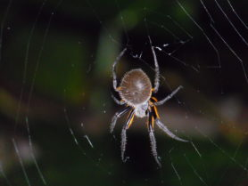 Picture of Eriophora fuliginea - Dorsal,Webs