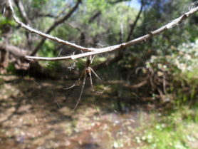 Picture of Tetragnatha spp. - Ventral,Webs