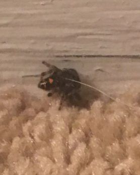 Picture of Phidippus audax (Bold Jumper) - Dorsal