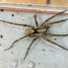 Featured spider picture of Gladicosa pulchra