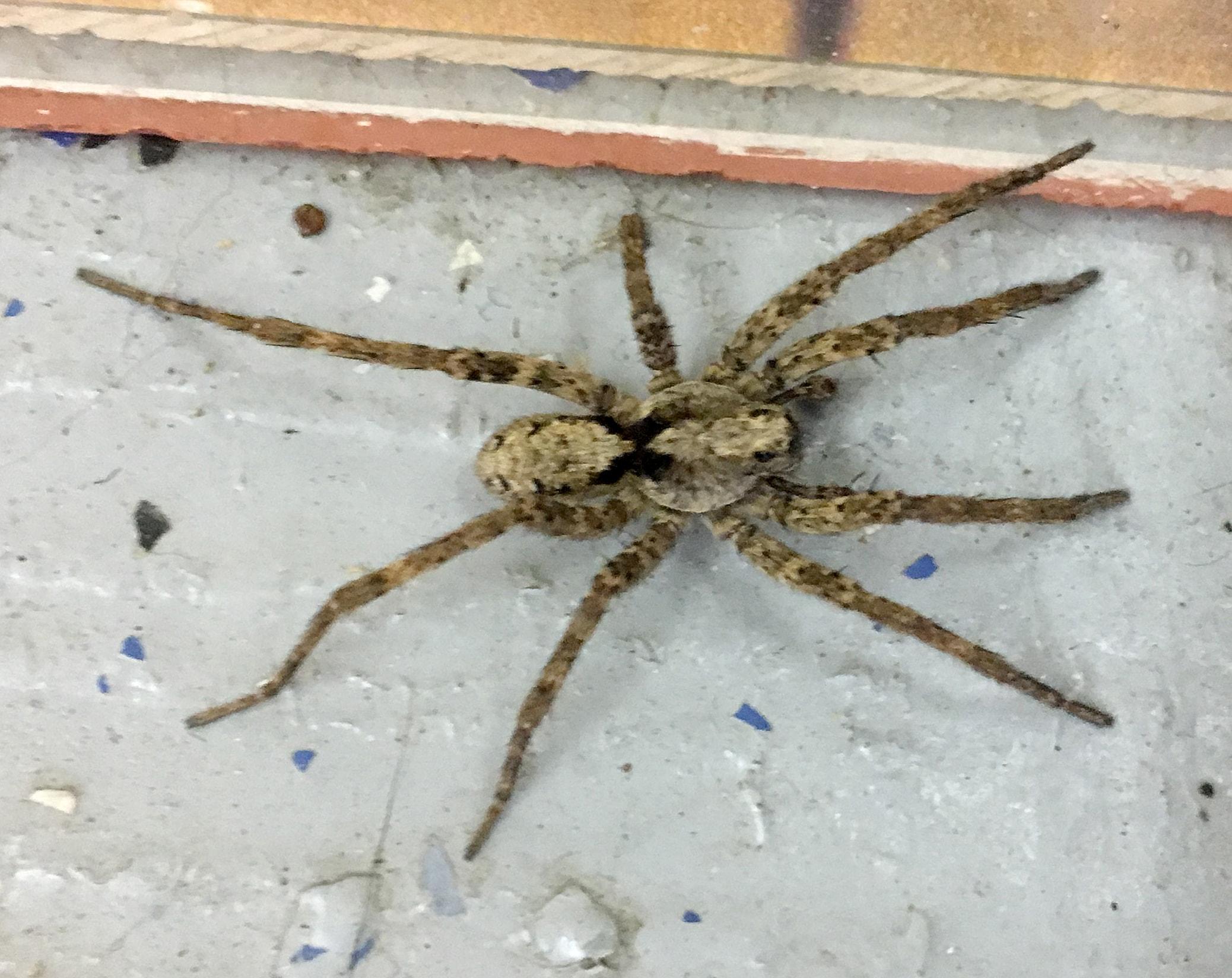 Picture of Gladicosa pulchra - Male - Dorsal