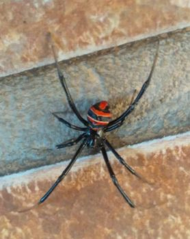 Picture of Latrodectus spp. (Widow Spiders) - Dorsal