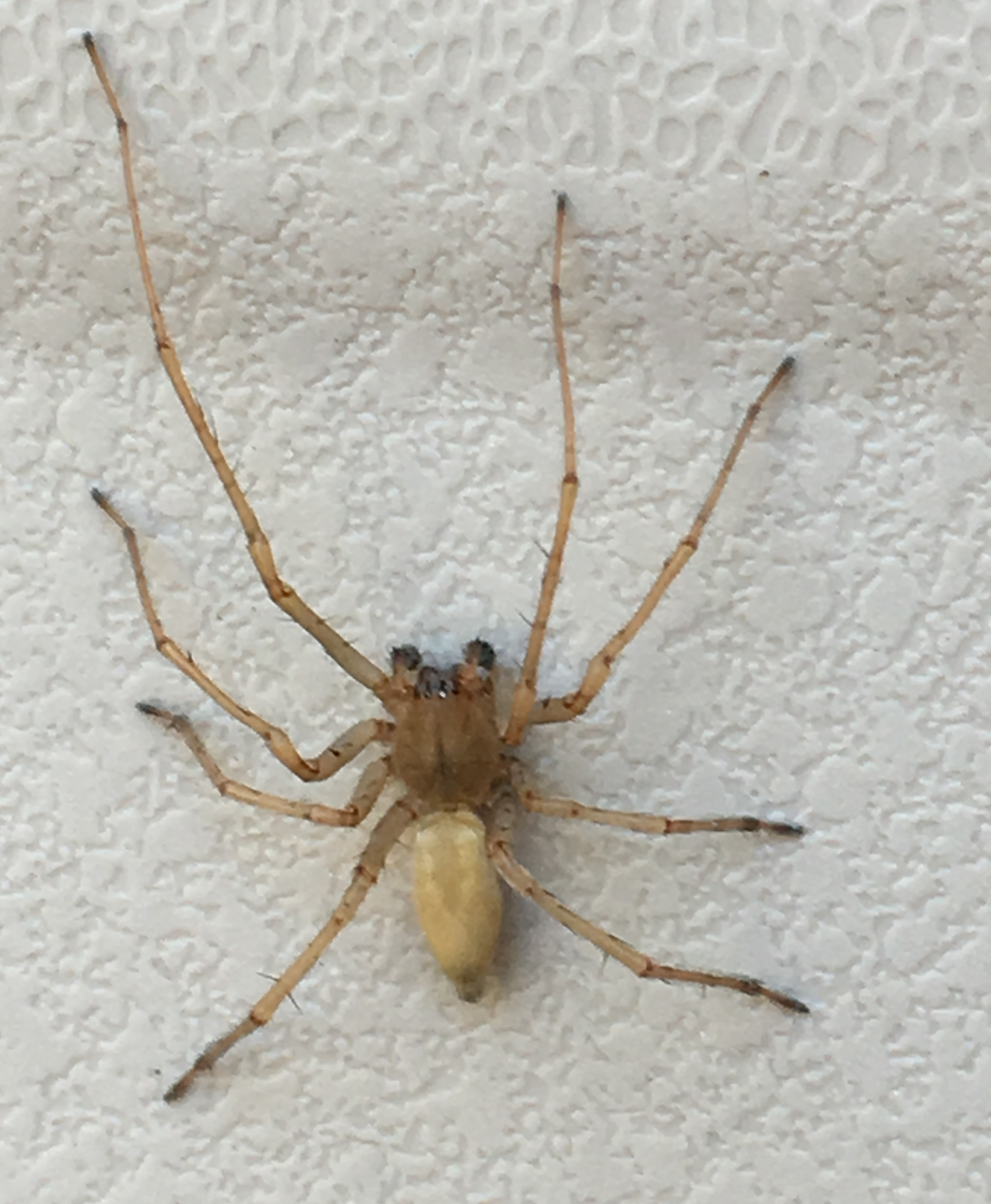 Picture of Cheiracanthiidae (Prowling Spiders) - Male - Dorsal