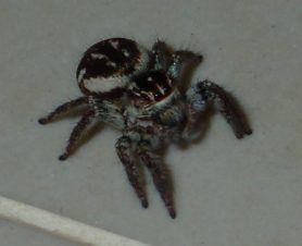 Picture of Salticidae (Jumping Spiders) - Dorsal,Eyes