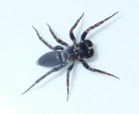Picture of Salticidae (Jumping Spiders) - Male - Dorsal